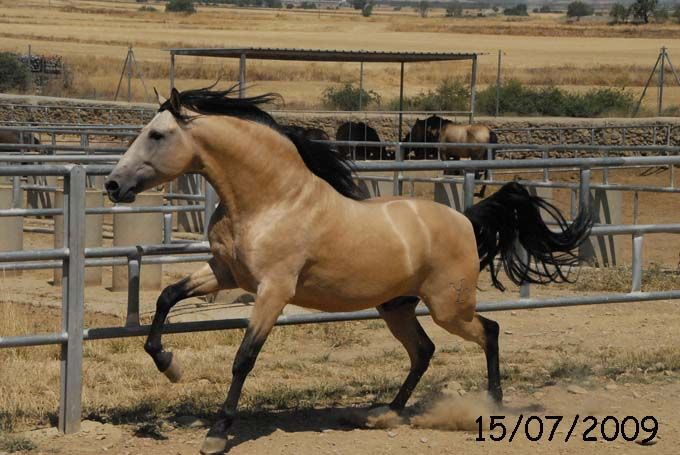 Cisne El Bayo | PRE horses | PORTAL HÍPICO   Andalusian