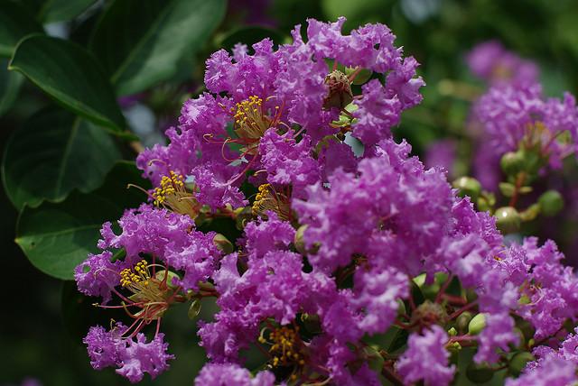 *Purple Crape Myrtle* seeds (10)