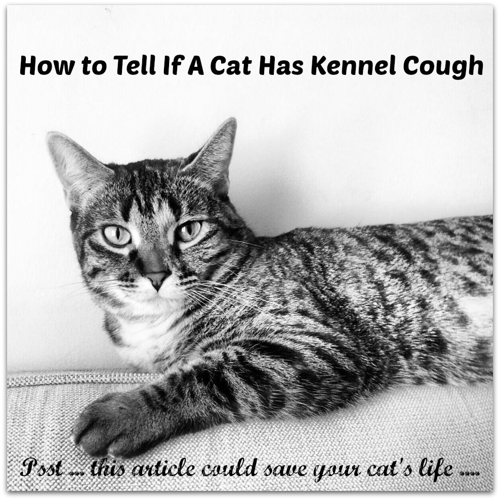 Kennel Cough Symptoms In Cats Kennel Cough Symptoms Cats Cat Kennel