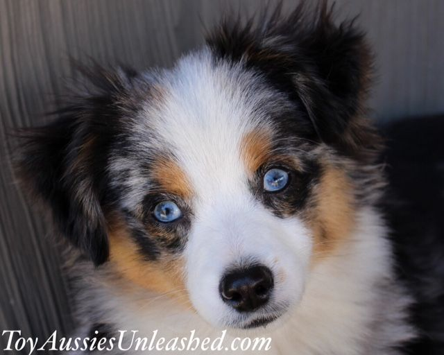 Kc Murphy Toy Aussies Unleashed Dogs And Puppies Best Dogs Puppies
