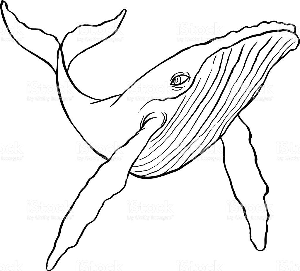 Humpback Whale Line Drawing : Hand drawn line art illustration of a humpback whale
