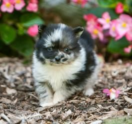 Pomchi Pomeranian Chihuahua Mix Info Temperament Puppies Pictures Pomeranian Puppy Pomeranian Breed Dogs And Puppies