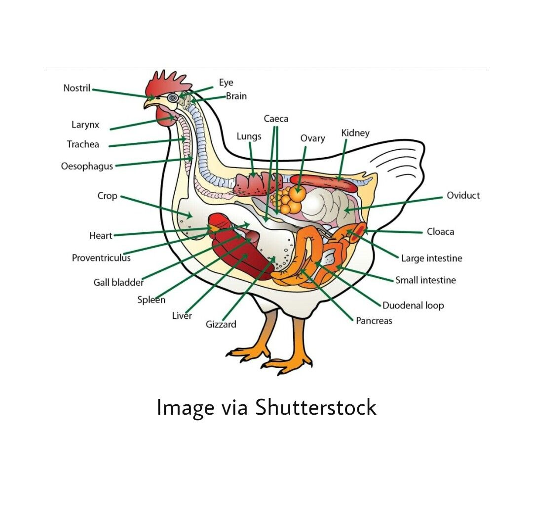 Pin On Farm Poultry Birds