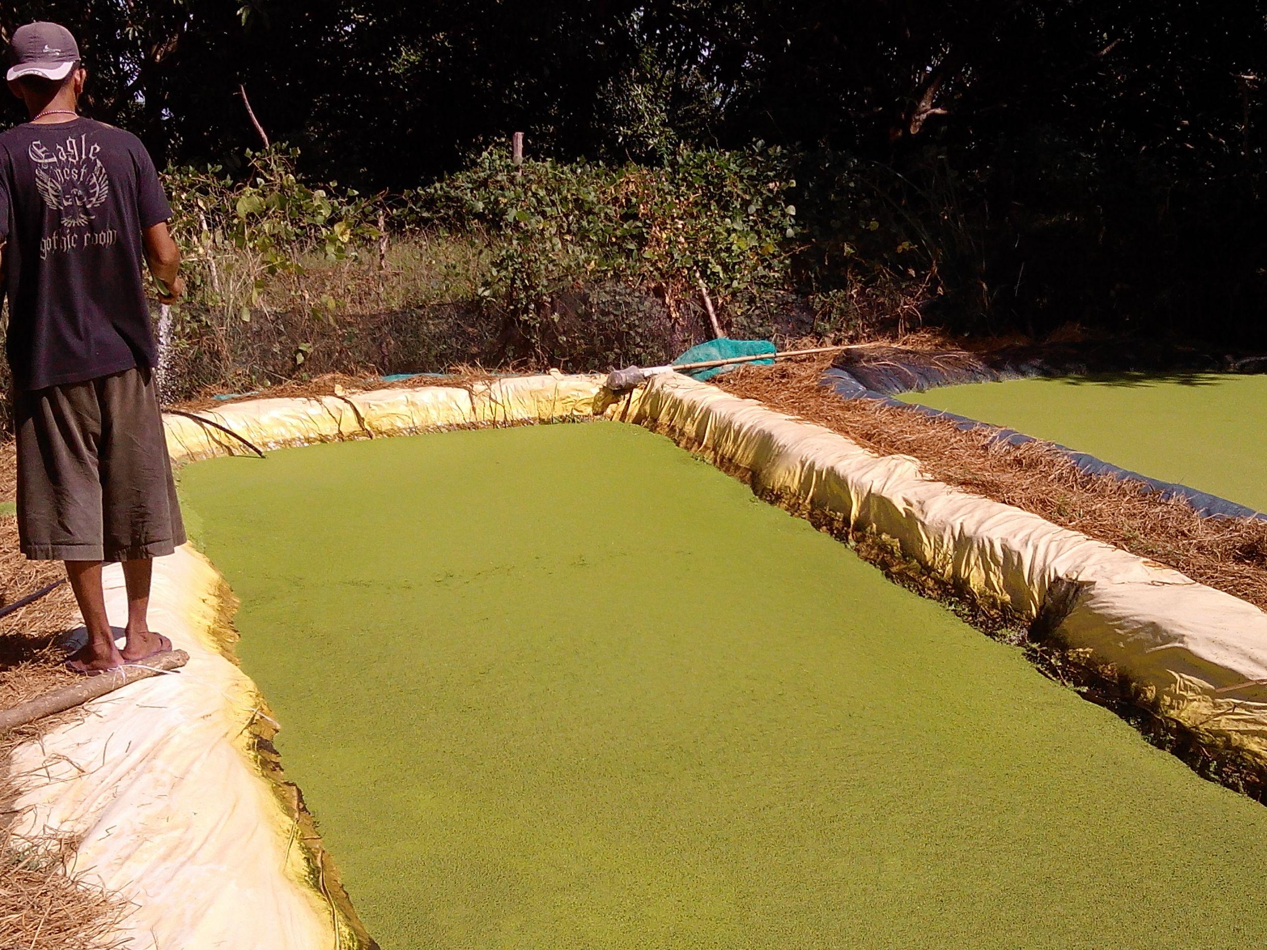 duckweed vertical farming google search duckweed u0026 azolla