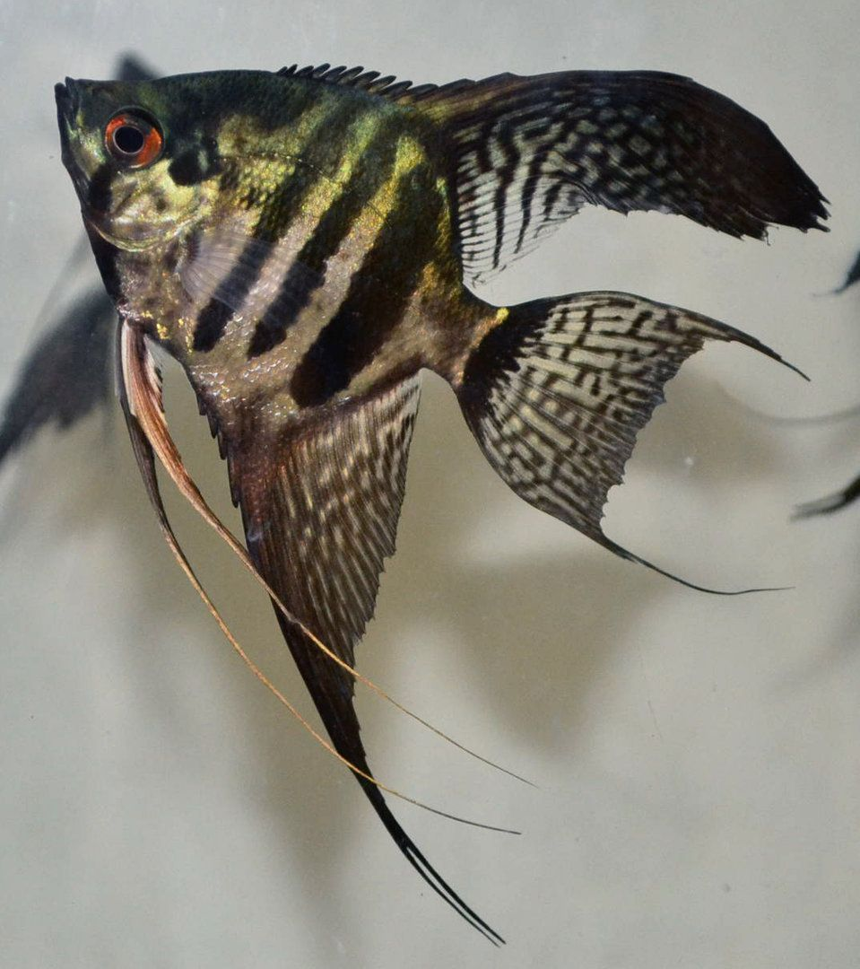 Freshwater aquarium fish angelfish - Pinoy Zebra Angelfish Zebrasfreshwater Aquariumaquarium Fishangelfishdrawing