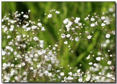 Baby S Breath Flowers Grow Baby S Breath Flowers Special Occasion Easy To Grow Bulbs Babys Breath Flowers Babys Breath