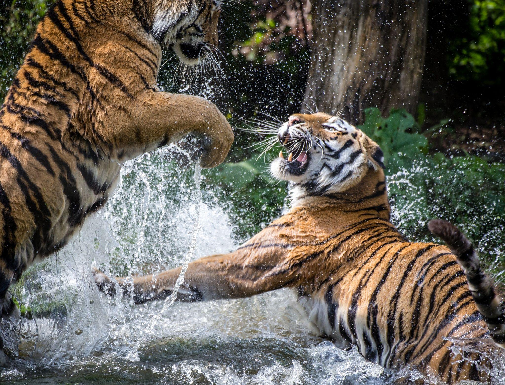 Tiger Fight by Oliver Haller (With images) Tiger