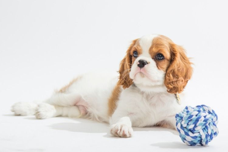 Cavalier king charles spaniel puppies for sale at best