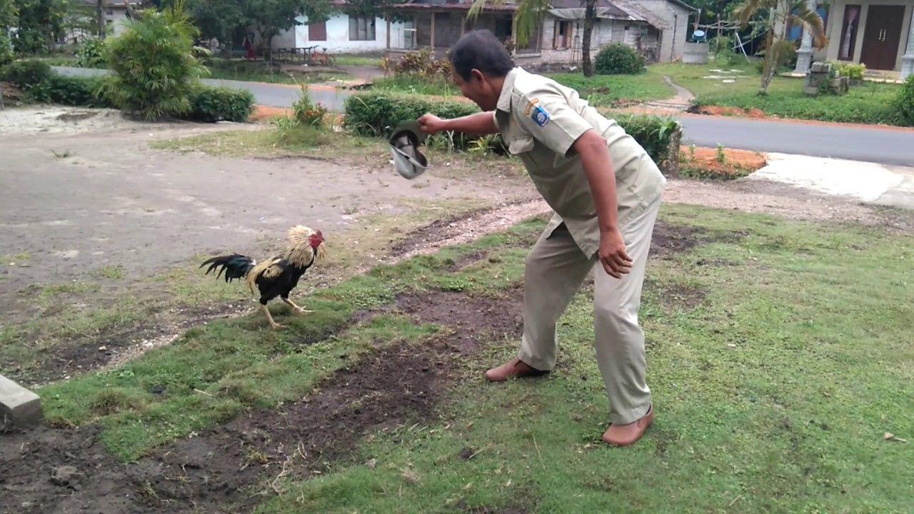 Ayam Lucu Serang Balik Tuannya