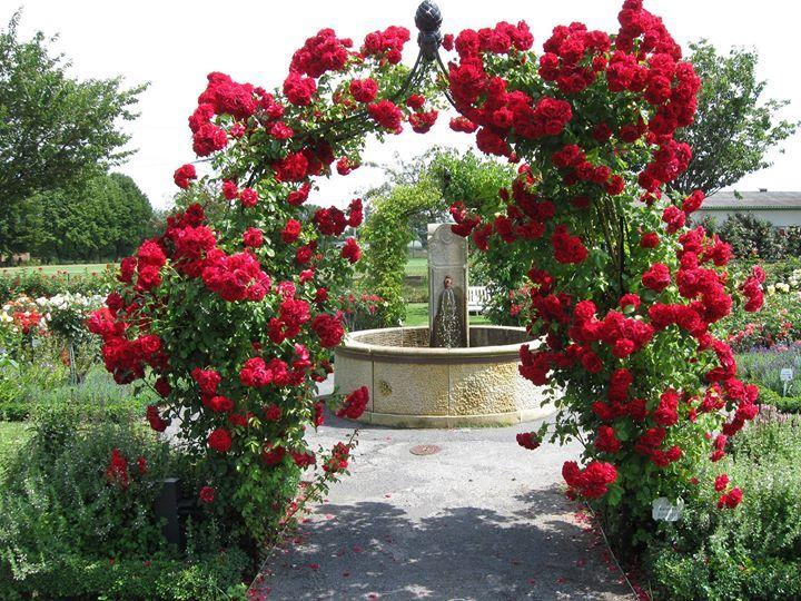Die Ofter Bluhende Kletterrose Amadeus Kordes 2003 Fasziniert Genau So Wie Die Musik Von Osterreichs B Beauty Gardens My Secret Garden What A Beautiful Day