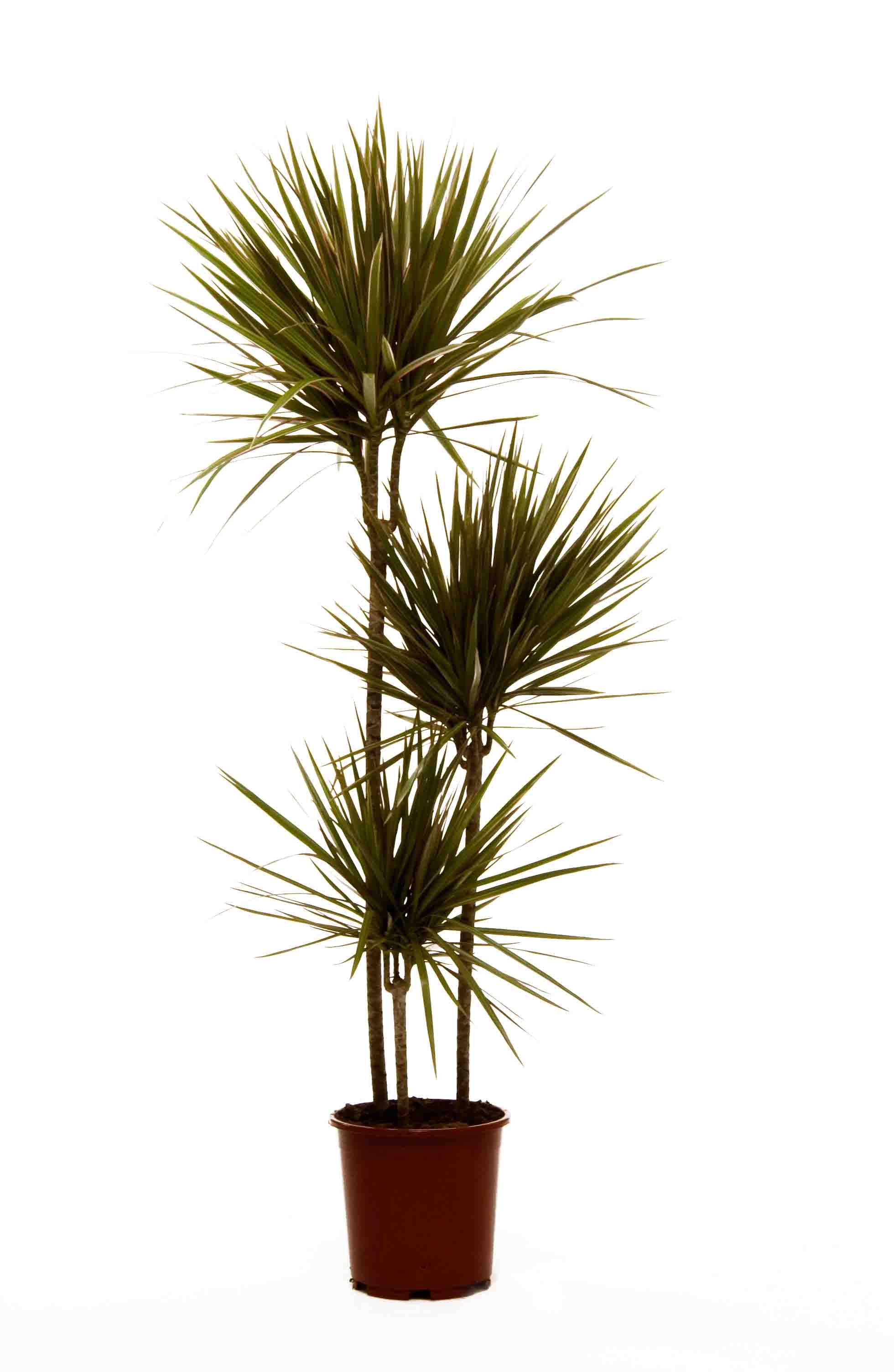 dracaena marginata as a 3 plant per pot display a great architectural favourite also available. Black Bedroom Furniture Sets. Home Design Ideas