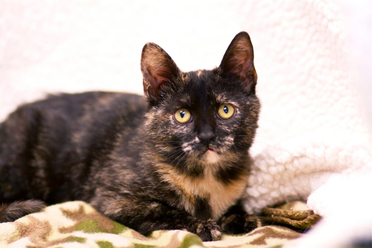 Meet Taco A Tortie Kitten For Adoption She Is Such A Cutie Cat Adoption Kitten Adoption Tortie Kitten
