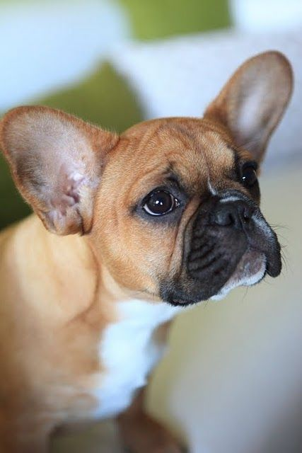 Snappy The Frenchie What Big Ears You Have They Re Beautiful