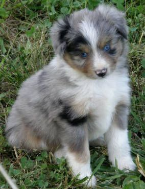 Blue Merle Toy Mini Minature Australian Shepherd Aussie Puppy