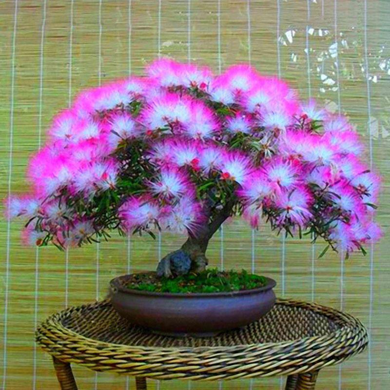 Egrow 20pcs Acacia Tree Seeds Colorful Albizia Julibrissin Tree Seed Indoor Bonsai Tree Planting Indoor Bonsai Tree Trees To Plant Bonsai Tree