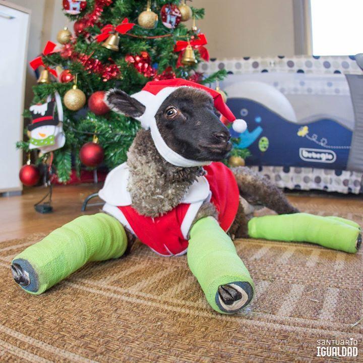 Pascal nos dijo que no se moverá del árbol hasta que llegue su regalito!   Quedan 12 horas para llegar a la meta de la campaña de navidad!! Vamos amigos!   Pon tu granito de arena aquí  http://ift.tt/2Dq6XTO