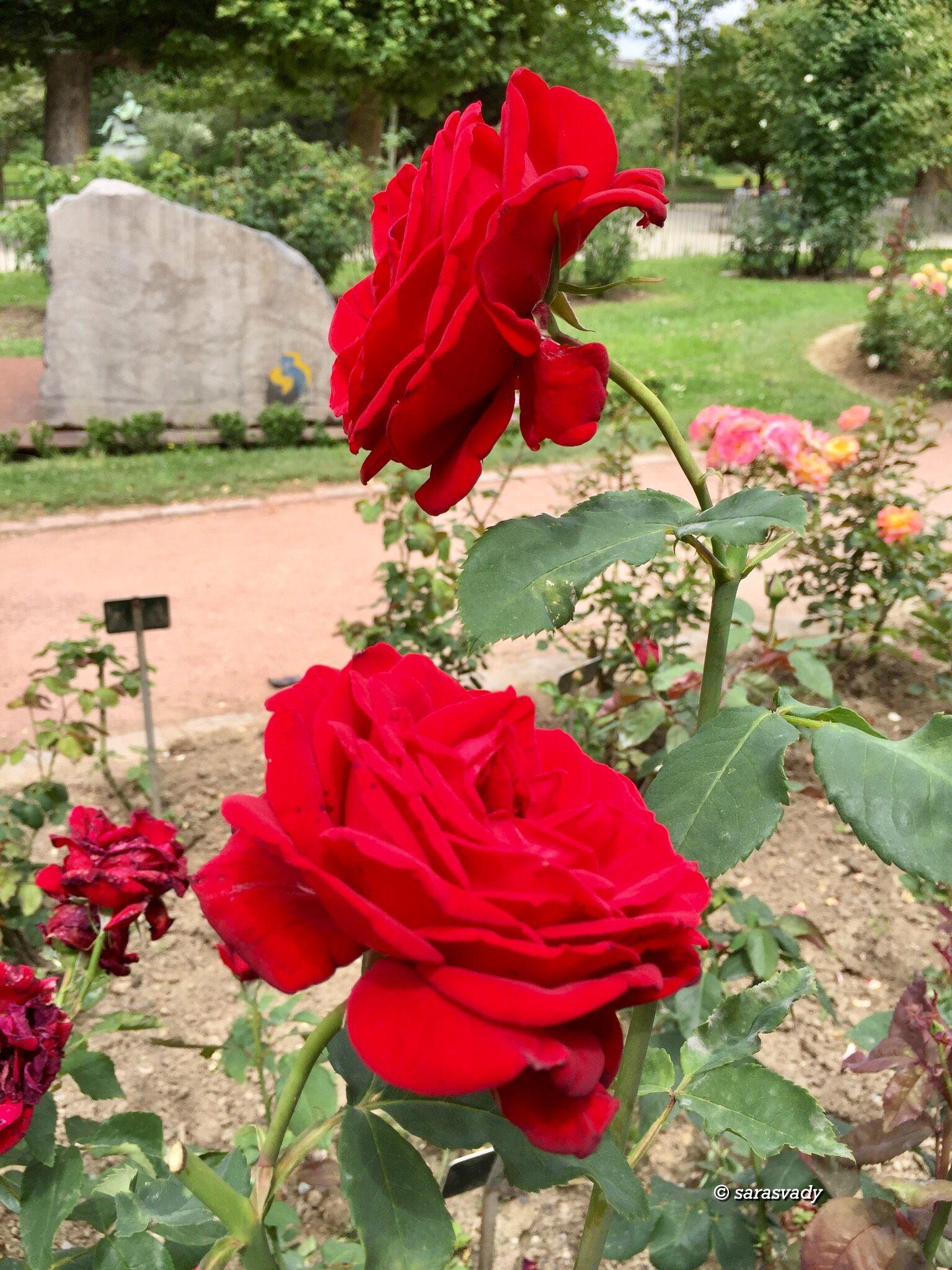 Розы с доставкой херсонес, букет