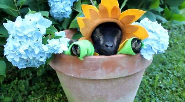 This baby goat dressed as a sunflower, falling asleep in a flower-pot and brightening lives as he does so.