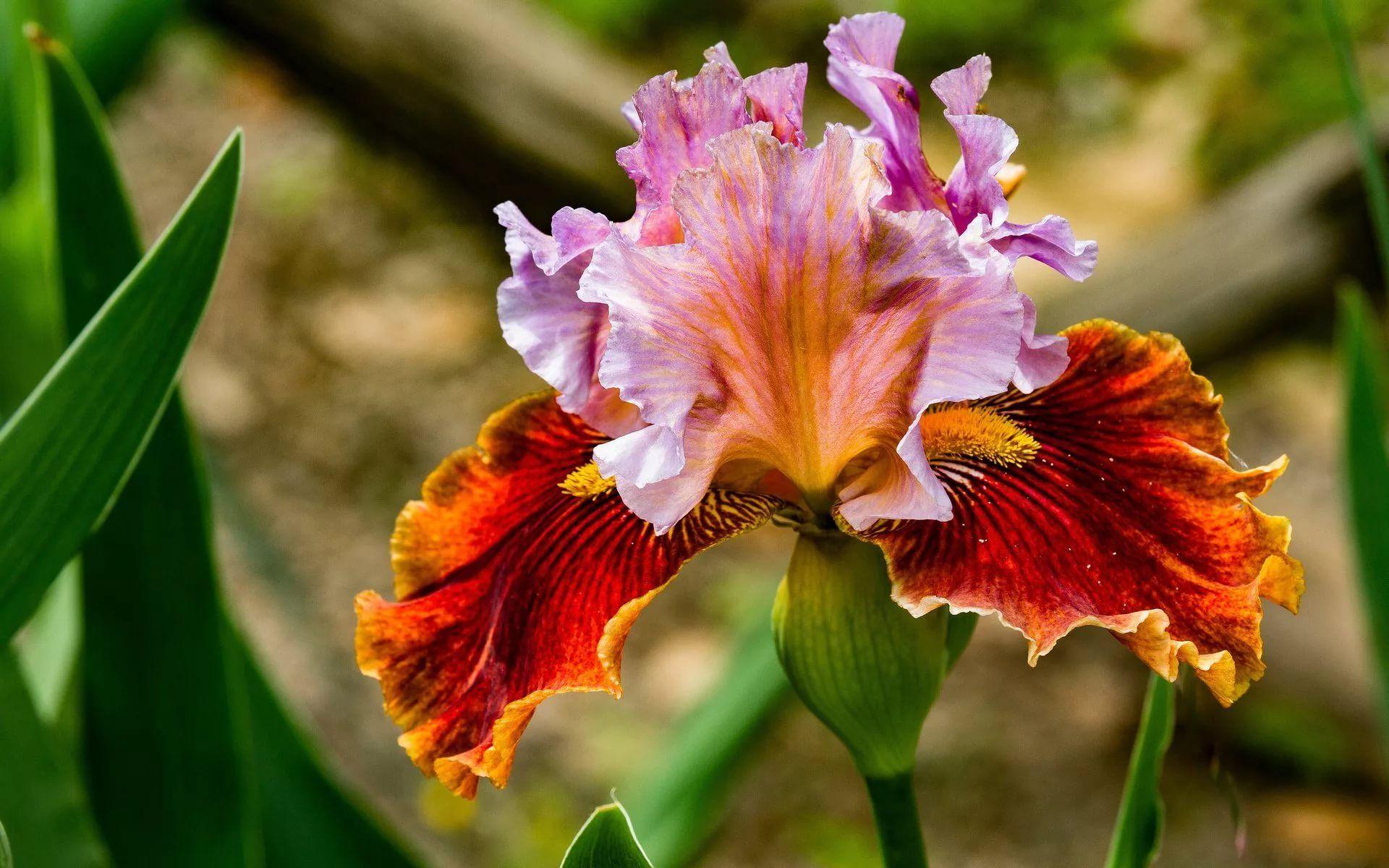цветок ириса фото: 10 тыс изображений найдено в Яндекс ...