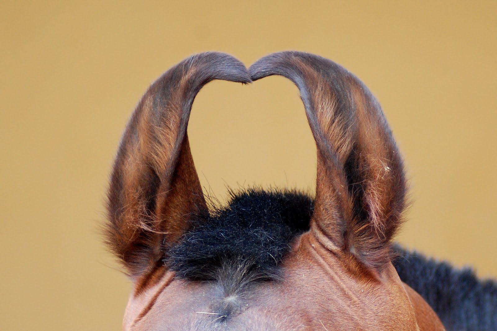 marwari pferde   10 Pairs of Crazy Marwari Horse Ears