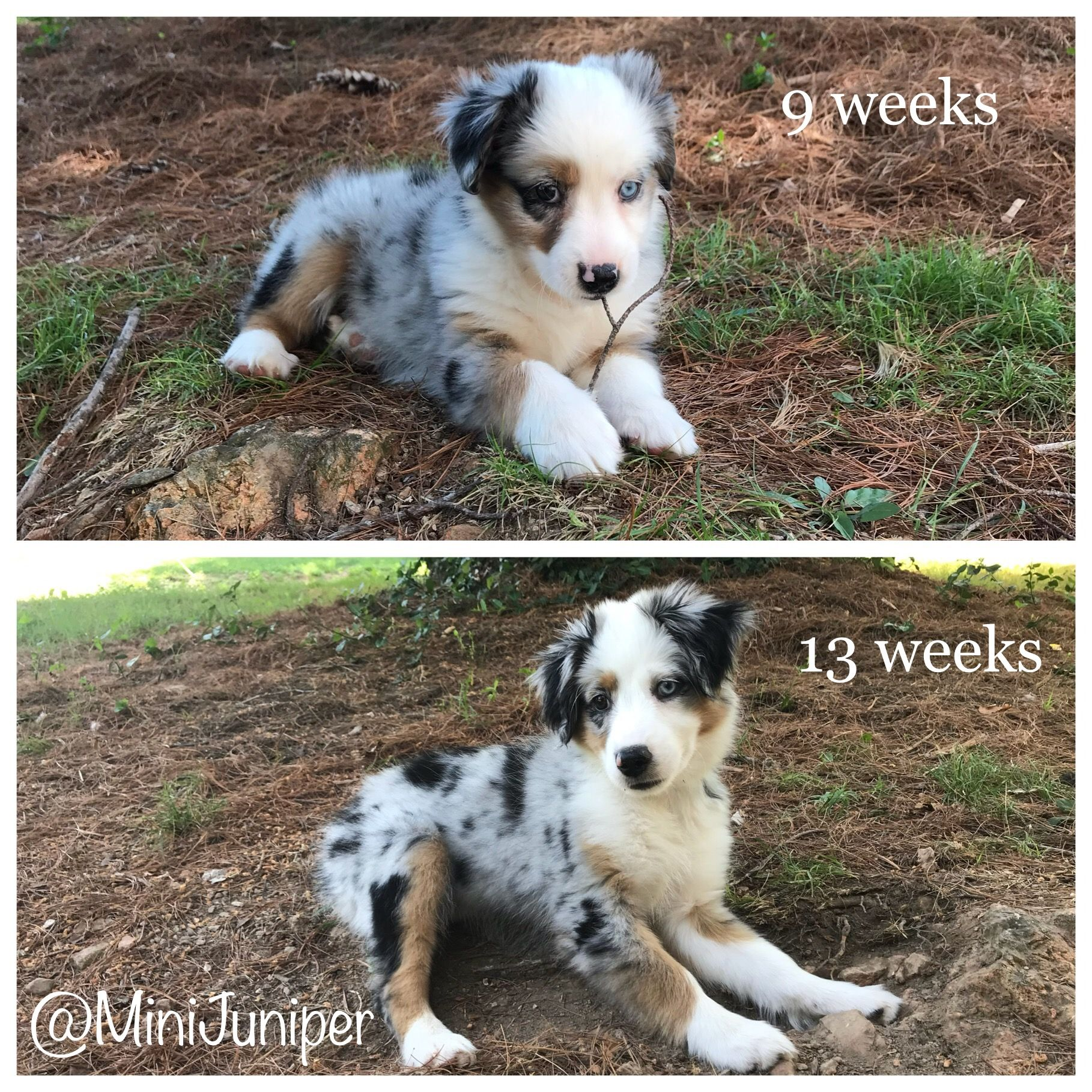Mini Australian Shepherd Puppy Before And After Blue Merle Ig Minijuniper Australian Shepherd Puppy Mini Australian Shepherds Australian Shepherd