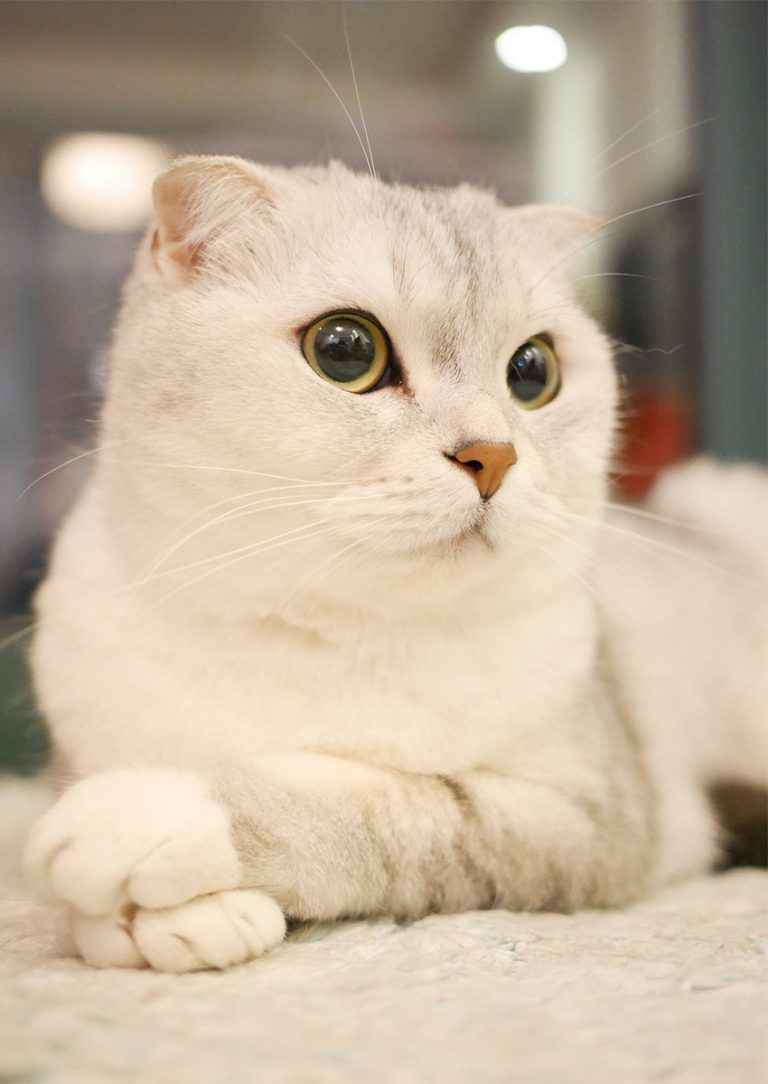 Scottish Fold Cats A Complete Guide With Images Cat Scottish