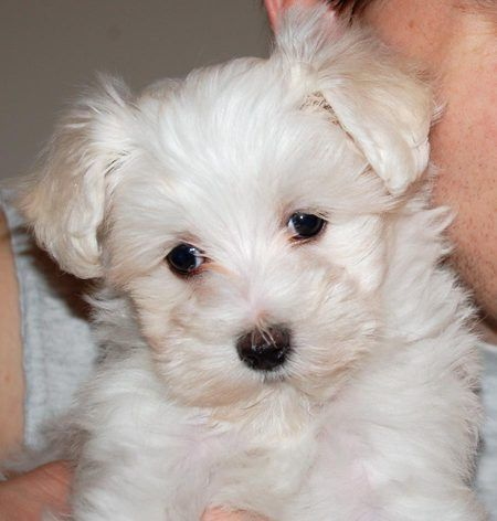 Caspian The Maltese Toy Poodle Puppies Maltese Poodle Puppies Toy Poodle Puppies