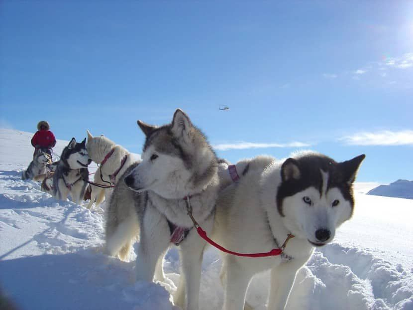 List Of Sled Dog Breeds Wolf Dog Breeds