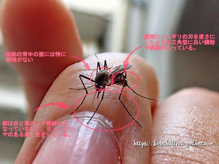 できるだけ刺されたくない血を吸う大きいシマシマの蚊 オオクロヤブカ