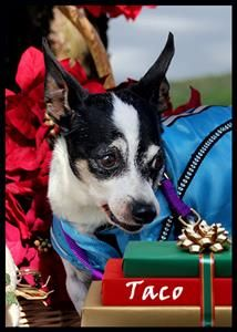 Adopt Mason On Adoptable Chihuahuas Chihuahua Pets Dogs