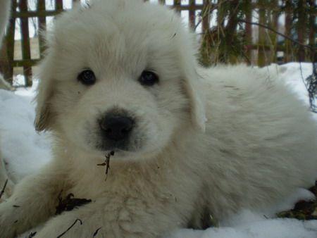 Polish Tatra Sheepdog Wikipedia The Free Encyclopedia