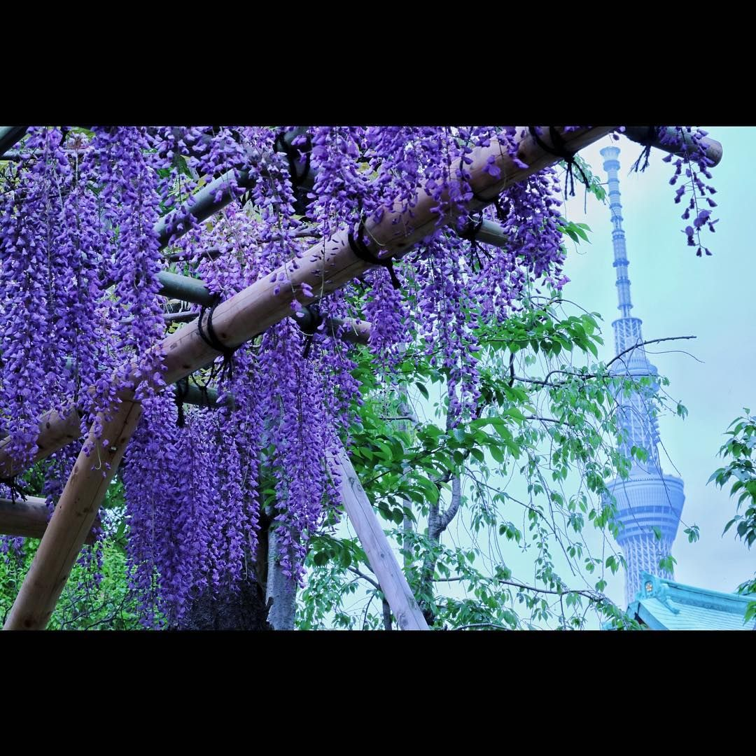 11 Great Locations to Enjoy Wisteria Arbour in Japan