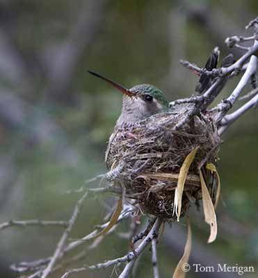 Lorsque la femelle du colibri part à la recherche de nourriture, elle stocke les matières alimentaires qu'elle récolte dans la partie supérieure de son tube digestif. Il s'agit de nectar, pur ou mêlé de minuscules insectes vite ramollis par un début de digestion. De retour au nid, elle distribue la nourriture à ses poussins par régurgitation dans le gosier béant de ses petits, en y enfonçant profondément le bec…