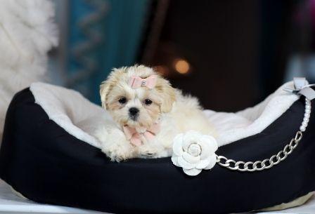 Calif Teacup Shih Tzu Puppies Shih Tzu Puppy Teacup Shih