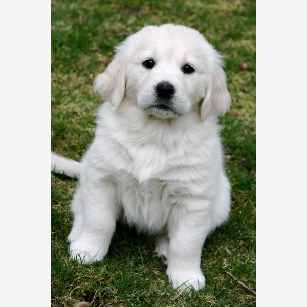 White Golden Retreiver Puppy Golden Retriever Puppies Pinterest