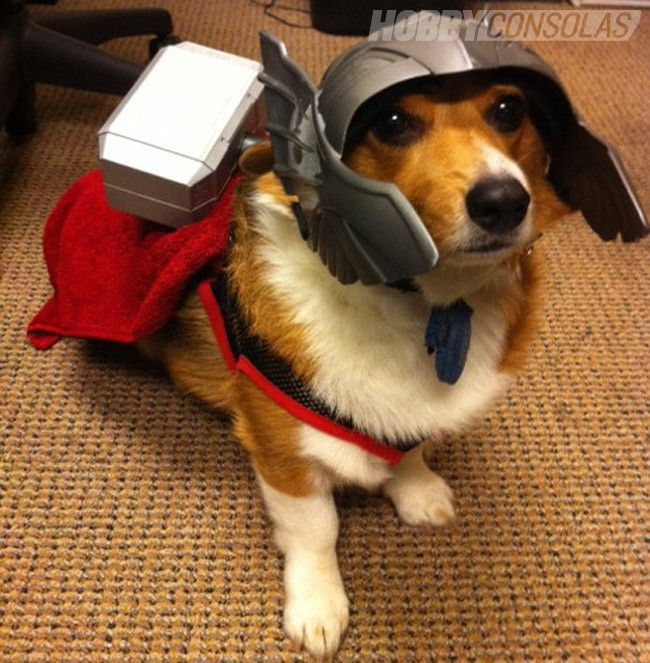 La Mejor Recopilacion De Fotos De Perros Disfrazados De Superheroes Disfruta De Mas De 20 Fotos De Perros Disfrazados Disfraz Para Perros Halloween Meme Corgi