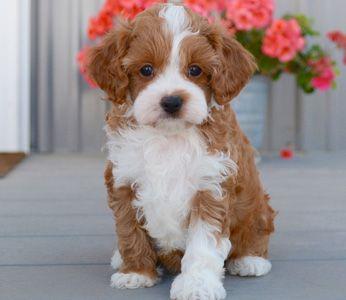 Cavapoos Puppies By Design Online Cavapoo Puppies Yorkie Poo Puppies Cavapoo