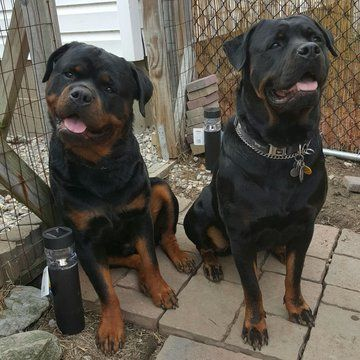 Litter Of 6 Rottweiler Puppies For Sale In Massillon Oh Adn