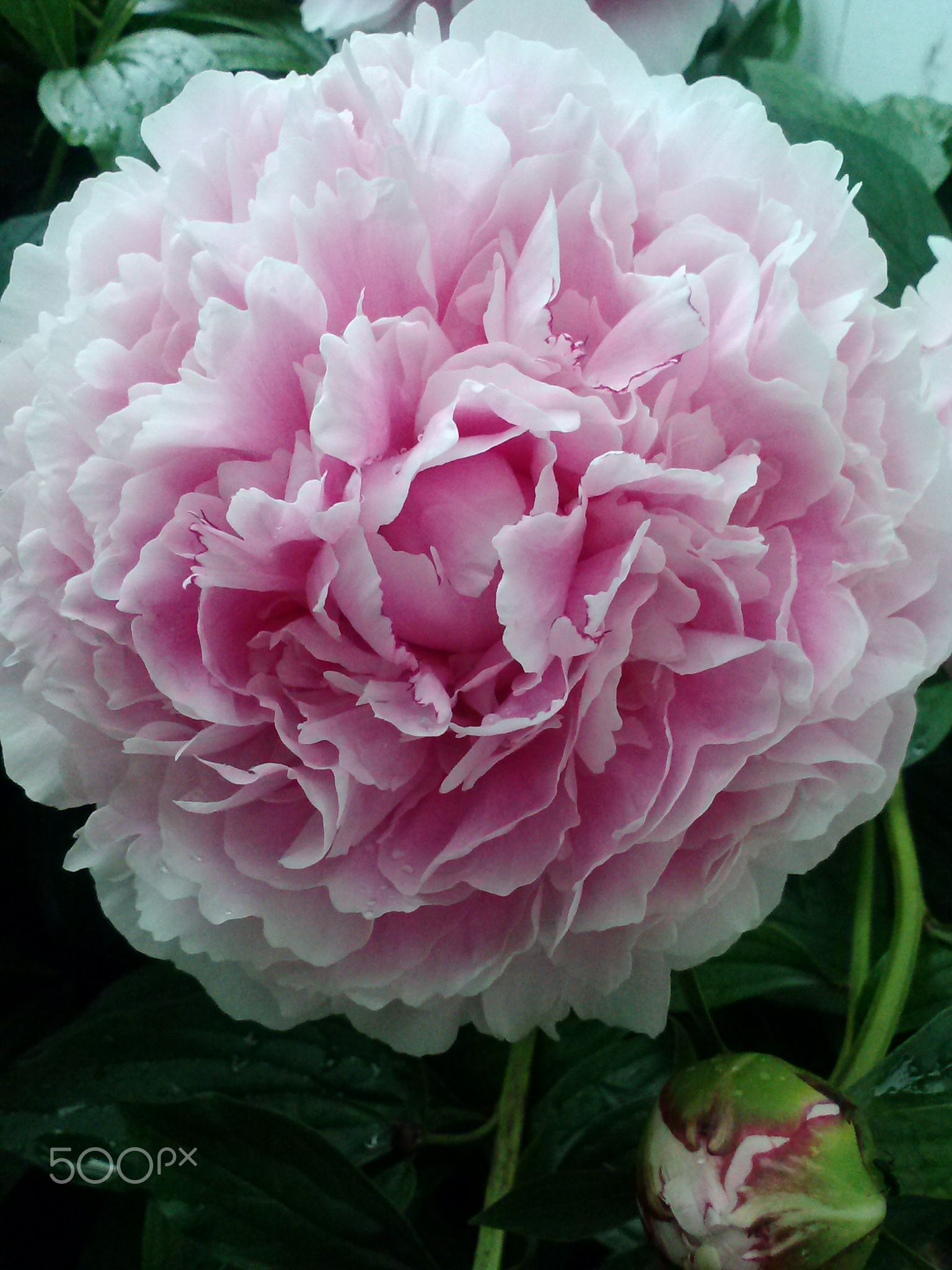 Peony Opened - A random flower photo...