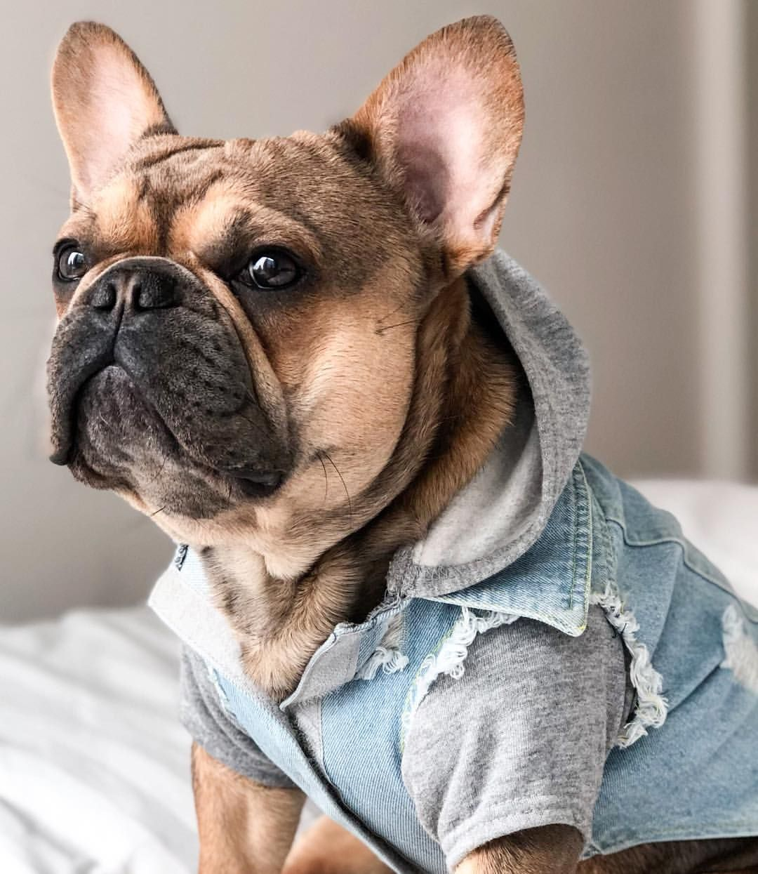 Tungsten On Instagram So Uh You Gonna Finish That Pizza Hangry Pizzatime Sharingiscaring Fren French Bulldog Funny French Bulldog Bulldog