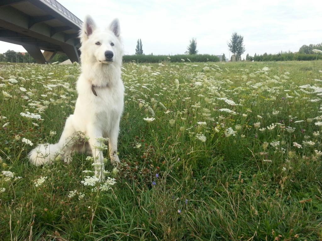 Weisser Schweizer Schaferhund Sucht Ubrigens Noch Mitbewohner In Dresden Schaferhund White German Shepherd White Shepherd Shepherd Dog