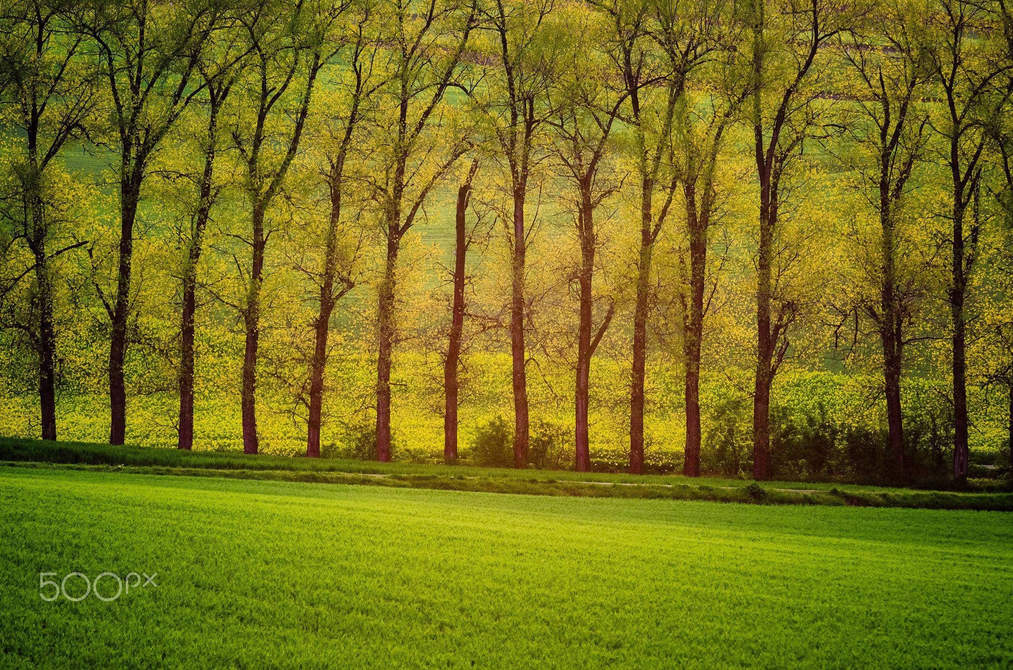 Beautiful Golden Trees Beautiful Golden Trees In Sun Rays With Meadow Natural Seasonal Background Golden Tree Tree Beautiful Beautiful landscape tree plants sun rays