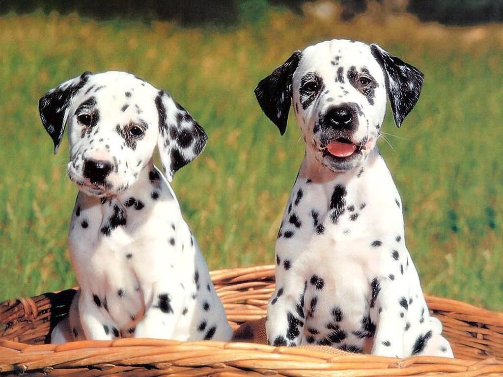 Dogs Wallpaper Cute Dog Wallpaper Cute Dog Wallpaper Dog Wallpaper Dalmatian Puppy
