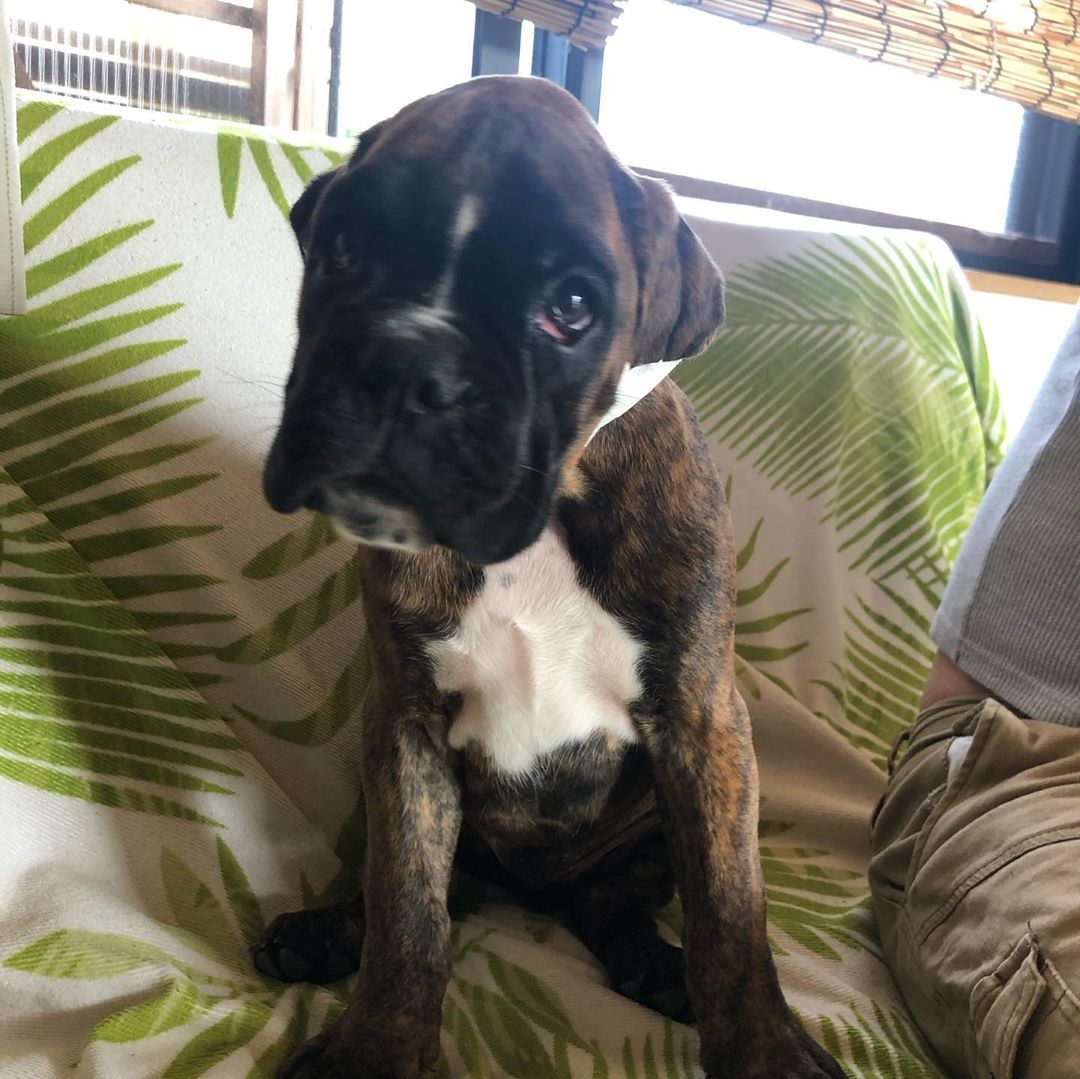 My Boxer Dog Keeps Hacking Best Boxer Breeders Near Me
