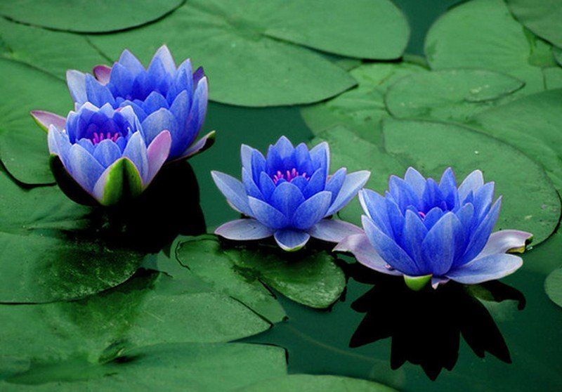 Blue Lotus Flower Meaning And Symbolism Mythologiannet Tattoo