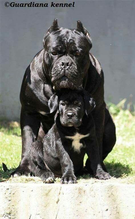 Wow Kaufmannspuppytraining Com Kaufmann S Puppy Training Dog Training Dog Love Puppy Love Cane Corso Puppies Corso Dog Cane Corso Dog
