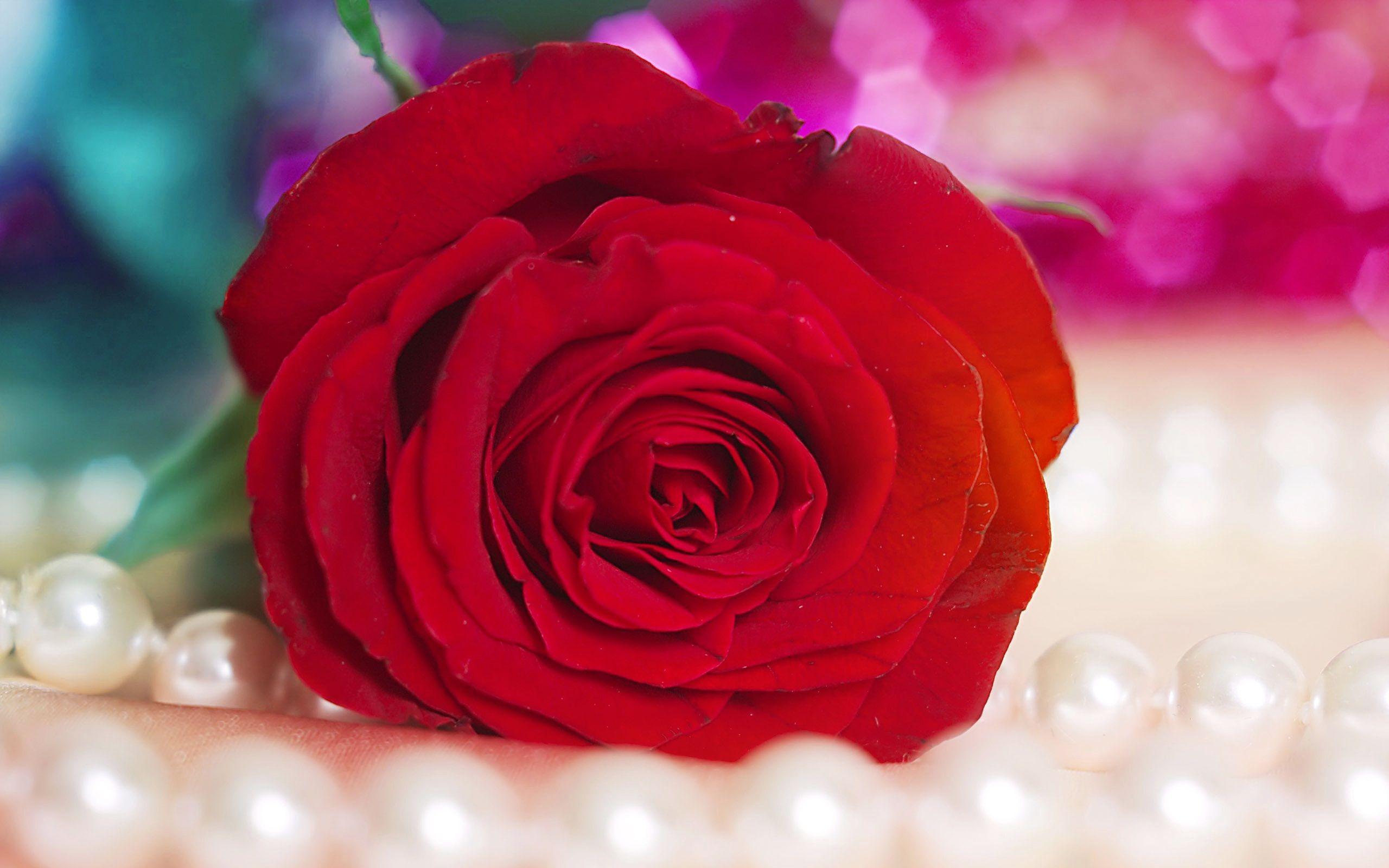 Permalink to Red Rose Flower Hd Wallpaper