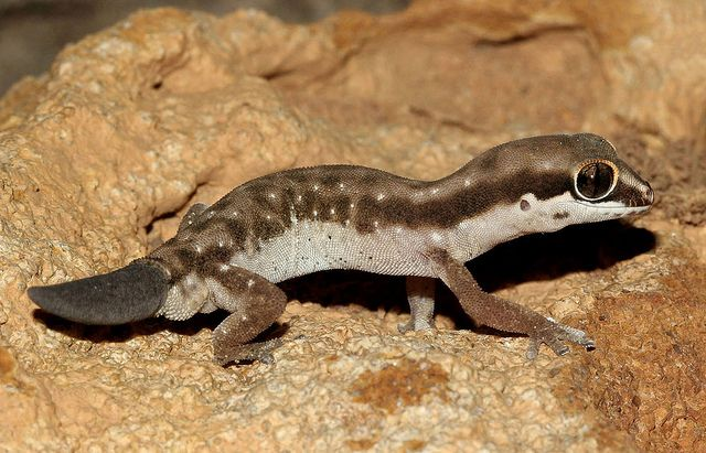 Ocellated Thick-toed Gecko (Pachydactylus geitje) | Flickr - Photo Sharing!