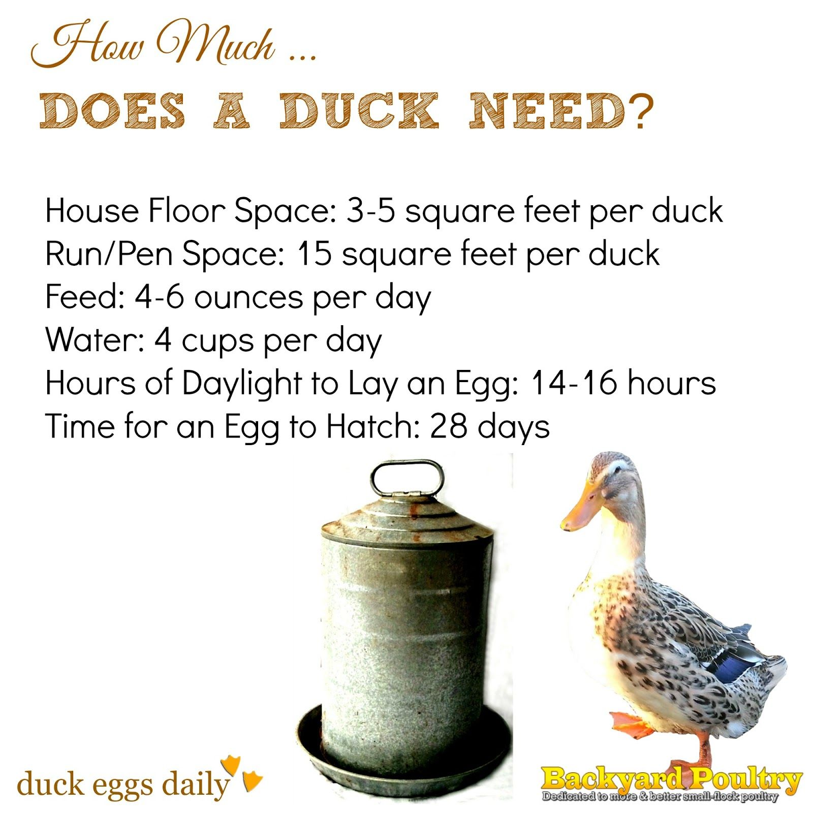 How much space feed water light does a duck need fresh infographic covering how much space feed water and light a backyard duck really needs nvjuhfo Image collections