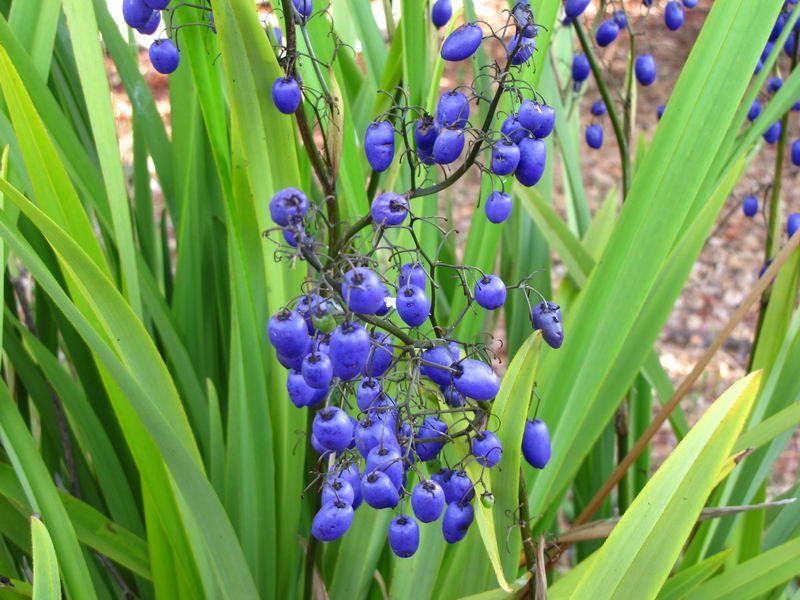 Tasmanian Flax Lily Dianella Tasmanica Australis Incognita Australian Native Flowers Native Garden Australian Native Plants